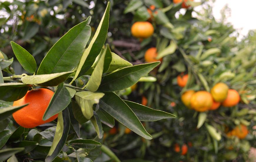 calorias de una mandarina