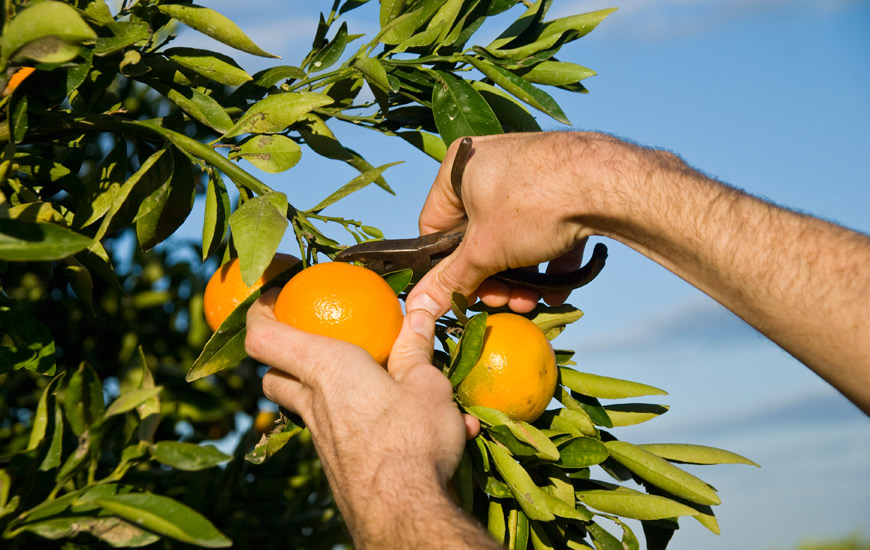 diferencia entre mandarina y clementina