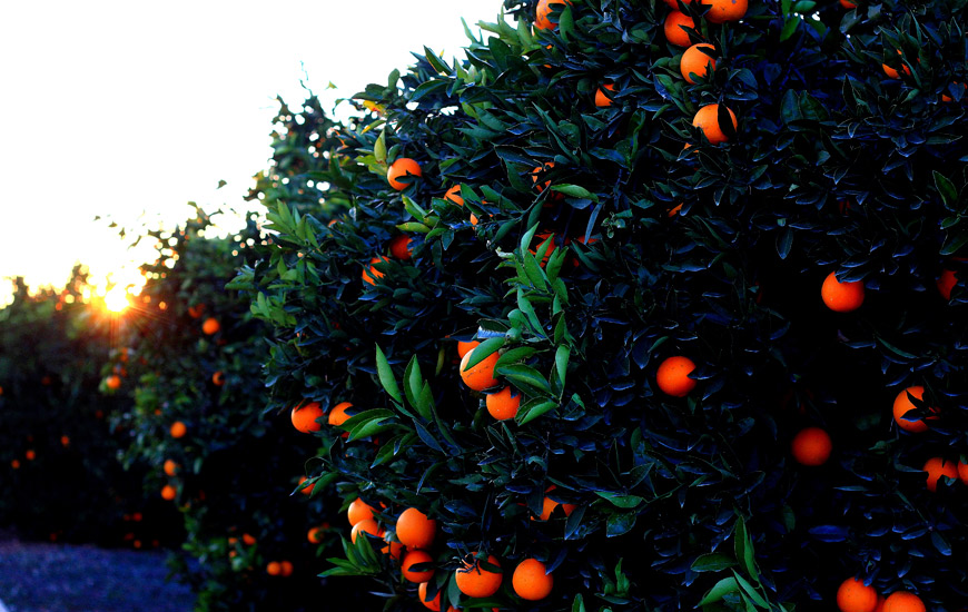 poda del naranjo
