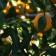 Poda del naranjo: cómo y cuándo