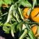 El cultivo del naranjo en Valencia