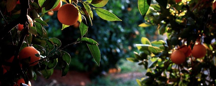 Variedades del cultivo de naranja