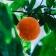 Cuáles son las frutas cítricas